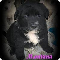 Adopt A Pet :: Montana - Denver, NC