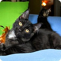 Maine Coon Kitten for adoption in jacksonville, Florida - I'M KOBE! I'M EVEN MORE HANDSOME ON THE INSIDE!