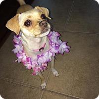 Chihuahua Mix Dog for adoption in San Jose, California - Daisy