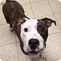 Terrier (Unknown Type, Medium)/American Pit Bull Terrier Mix Dog for adoption in Fulton, Missouri - Cecily- Ohio