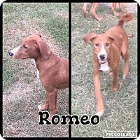 Adopt A Pet :: Romeo - Shaw AFB, SC