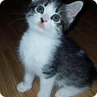 Adopt A Pet :: Mischief - Asheboro, NC
