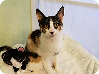 Domestic Shorthair Kitten for adoption in Alamo, California - MSF1