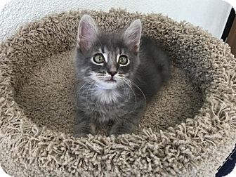 Domestic Shorthair Kitten for adoption in Hawthorne, California - Lollipop