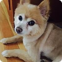 Pomeranian Mix Dog for adoption in Alpharetta, Georgia - Feather