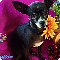 Adopt A Pet :: Xena - Irvine, CA