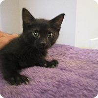 Adopt A Pet :: Inky - St. Louis, MO