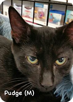 Domestic Shorthair Kitten for adoption in West Orange, New Jersey - Pudge