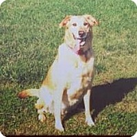 Golden Retriever/Labrador Retriever Mix Dog for adoption in Richmond, Virginia - Patty