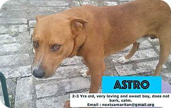 Labrador Retriever Mix Dog for adoption in Houston, Texas - Astro