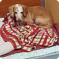 Adopt A Pet :: Patches - St. Charles, MO