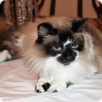 Adopt A Pet :: ChouChou - Houston, TX