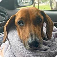Adopt A Pet :: Brady Finley - Houston, TX