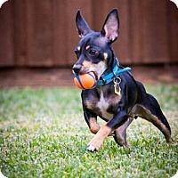 Adopt A Pet :: Gabby - Puppy - Dallas, TX