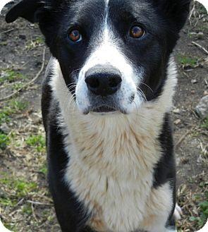 Border Collie Mix Dog for adoption in Anniston, Alabama - Crawl