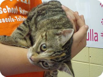 Domestic Shorthair Cat for adoption in Crawfordville, Florida - Tiger Lily