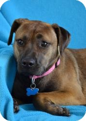 Boxer/Shepherd (Unknown Type) Mix Dog for adoption in Minneapolis, Minnesota - Cora