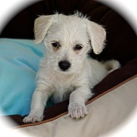 Adopt A Pet :: Traci - La Habra Heights, CA