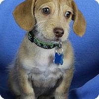 Adopt A Pet :: Murphy - Minneapolis, MN