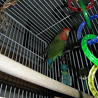 Lovebird for adoption in Neenah, Wisconsin - Jessi