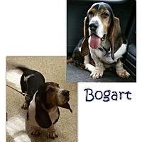 Adopt A Pet :: Bogart - Marietta, GA