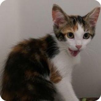 Domestic Shorthair Kitten for adoption in Wheaton, Illinois - Cali