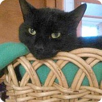 Domestic Shorthair Cat for adoption in Queens, New York - Linden