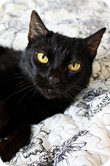 Domestic Shorthair Cat for adoption in Los Angeles, California - Luna 4