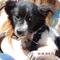 Adopt A Pet :: Tommy (9 lb) 100% Adorable - SUSSEX, NJ