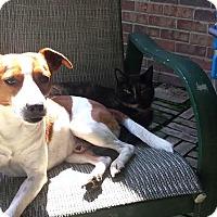 Adopt A Pet :: Buck~cat friendly~meet me! - Glastonbury, CT
