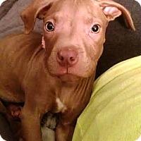 Adopt A Pet :: Bippa - Houston, TX