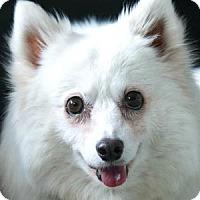 American Eskimo Dog Dog for adoption in Colorado Springs, Colorado - Sugar