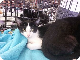 Domestic Shorthair Kitten for adoption in Alamo, California - Tyler
