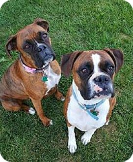 Boxer Dog for adoption in Boise, Idaho - ROCKY