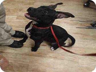 Pit Bull Terrier Dog for adoption in Pearland, Texas - GUMDROP
