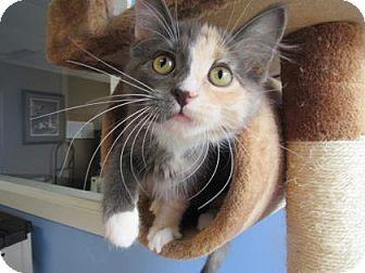 Domestic Mediumhair Kitten for adoption in Northfield, Minnesota - Belle