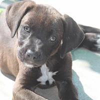 Labrador Retriever Mix Puppy for adoption in Jewett City, Connecticut - Patty Tolan