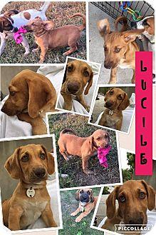 Labrador Retriever Mix Puppy for adoption in Brattleboro, Vermont - Lucille