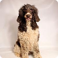 Adopt A Pet :: Tressa Poodle - St. Louis, MO