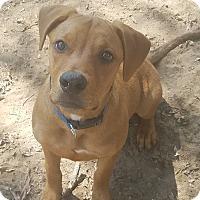 Labrador Retriever Mix Dog for adoption in Austin, Texas - Brandy