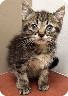 Domestic Shorthair Kitten for adoption in Oswego, Illinois - ADOPTED!!!   Dunkin
