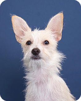 Terrier (Unknown Type, Medium)/Chihuahua Mix Dog for adoption in Sudbury, Massachusetts - Roscoe