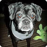 Pug/Beagle Mix Dog for adoption in Youngstown, Ohio - Mazie ~ Adoption Pending