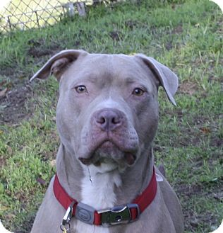 American Staffordshire Terrier/Pit Bull Terrier Mix Dog for adoption in Sacramento, California - Teddy!