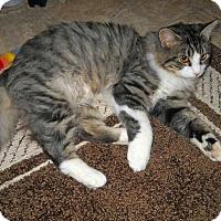 Siberian Cat for adoption in Paradise, California - Ben