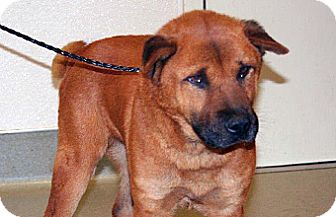 Shar Pei Mix Dog for adoption in Wildomar, California - Red
