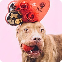 Terrier (Unknown Type, Medium)/Pit Bull Terrier Mix Dog for adoption in Cleveland, Ohio - Will