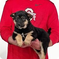 Adopt A Pet :: Tank - Gahanna, OH