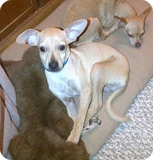 Chihuahua Puppy for adoption in Chandler, Arizona - Tripee