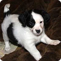 Adopt A Pet :: Shiner - La Habra Heights, CA